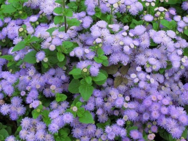 Цветы агератум