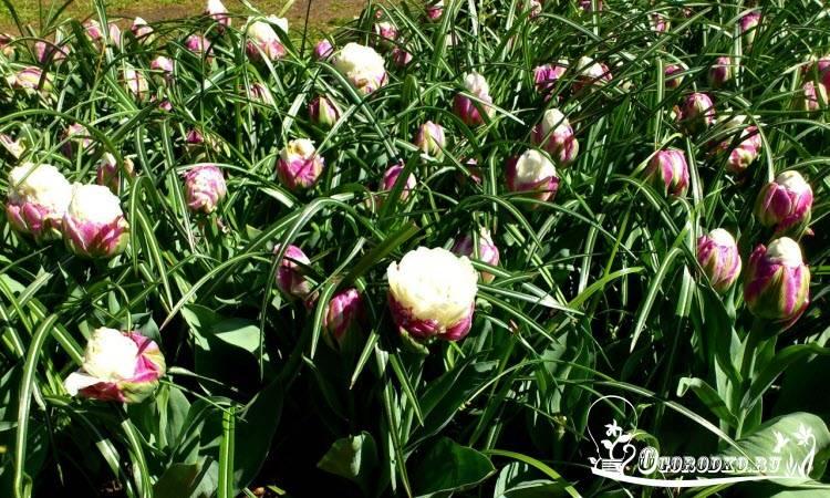 Тюльпан парад