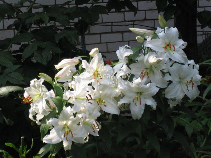 Лилии виды и сорта