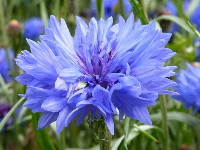 Полевые цветы васильки