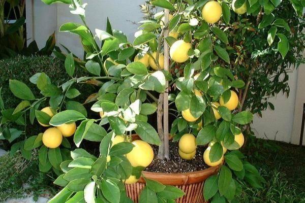 Болезни лимона комнатного