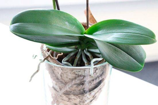 Липкие капельки на листьях орхидеи