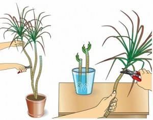 Как поливать юкку