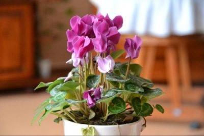 Как пересадить цикламен после цветения