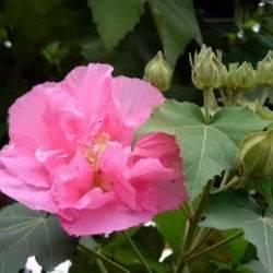 Гибискус древовидный садовый