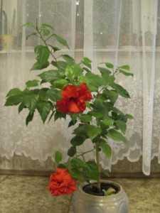 Почему у китайской розы опадают бутоны