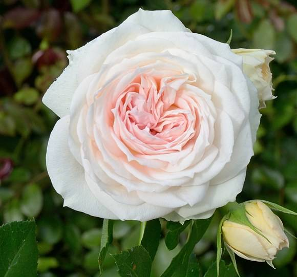 Название роз