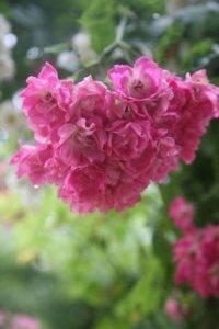 Плетистые розы цветущие