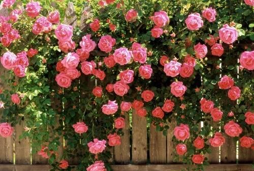 Роза вьющаяся уход