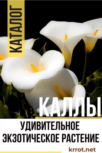 Цветок калла уход в домашних условиях