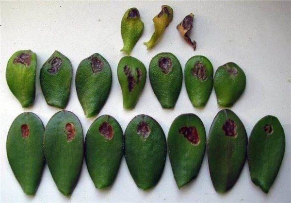 Как размножать денежное дерево в домашних условиях