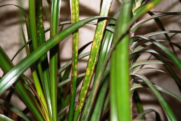 Цветочный клещ на комнатных растениях как бороться