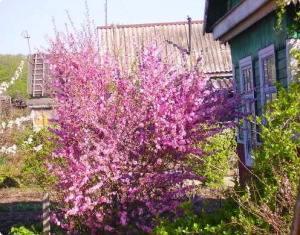 Как посадить сакуру