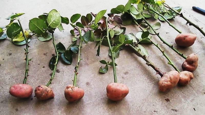 Как правильно посадить черенки роз