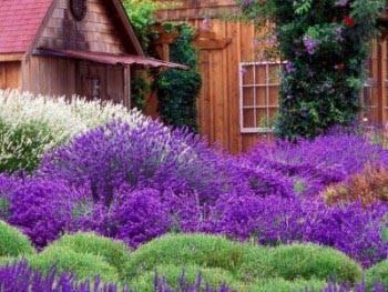 Фиолетовые маленькие цветочки