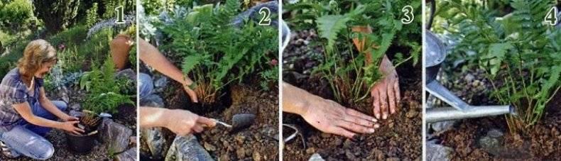 Как рассадить папоротник