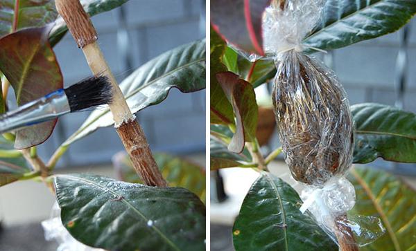 Размножение кротона листом