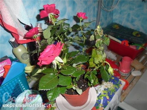 Роза сбросила листья что делать