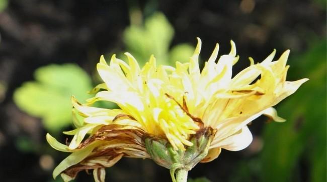 Хризантема садовая многолетняя
