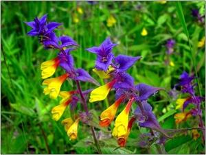 Как вырастить цветок иван да марья