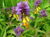 Лекарственное растение иван-да-марья