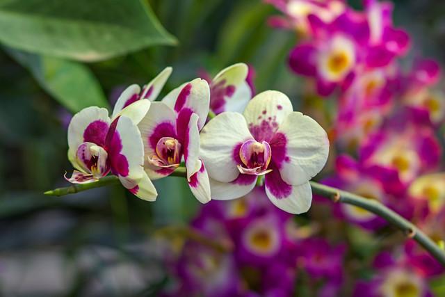 Что делать если у орхидеи вянут листья