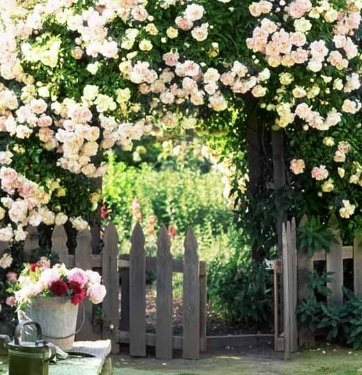 Формирование плетистой розы