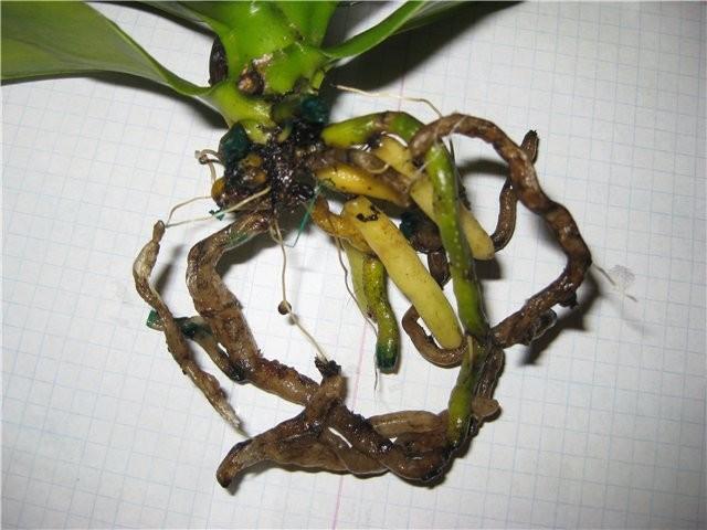У орхидеи гнилые корни что делать