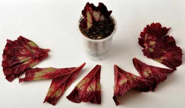 Размножение бегонии в домашних условиях листом