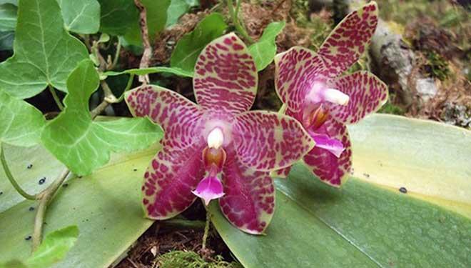 Фаленопсис виды и сорта
