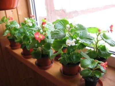 Почему не цветет бегония в домашних условиях
