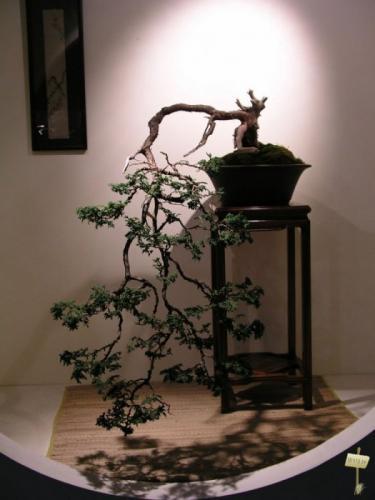 Китайское дерево бонсай