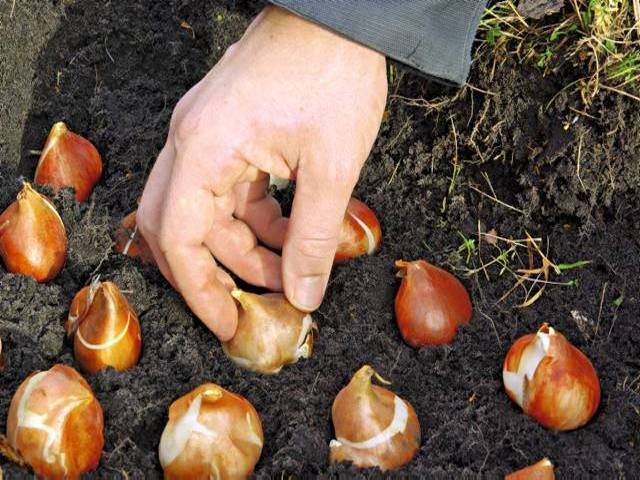 Когда сажают тюльпаны осенью в каком месяце