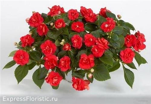 Цветок иван мокрый