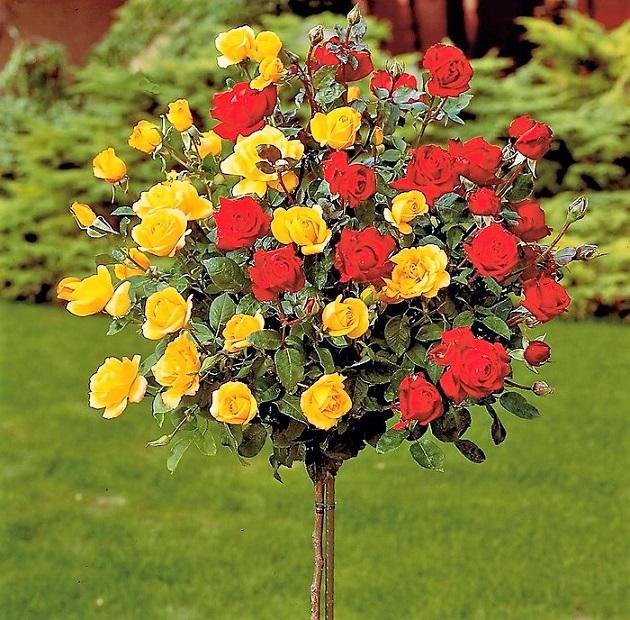 Кремовые розы сорта