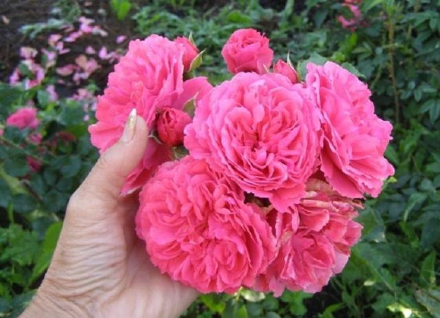 Как размножить плетистую розу