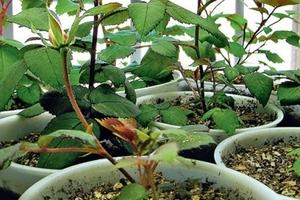 Как вырастить розы из семян: советы