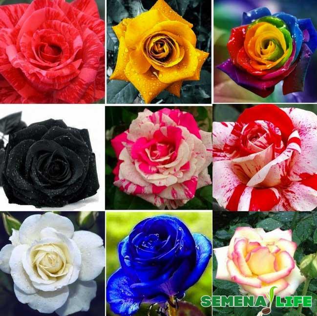 семена роз с алиэкспресс