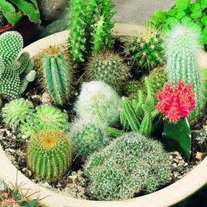 Как выпрямить кактус