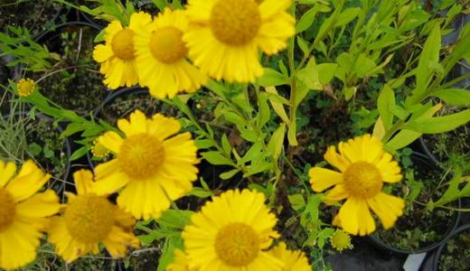 Желтые цветы с коричневой серединкой