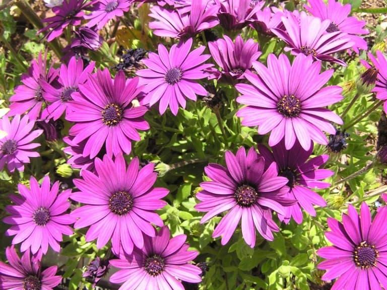 Цветы как ромашки только разноцветные как называются