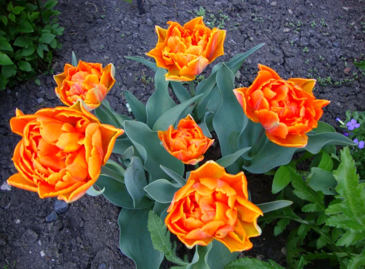 Тюльпаны оранжевые