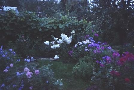 Гортензия метельчатая vanille fraise описание