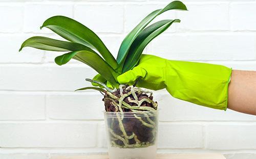 Орхидеи дендробиум уход в домашних условиях